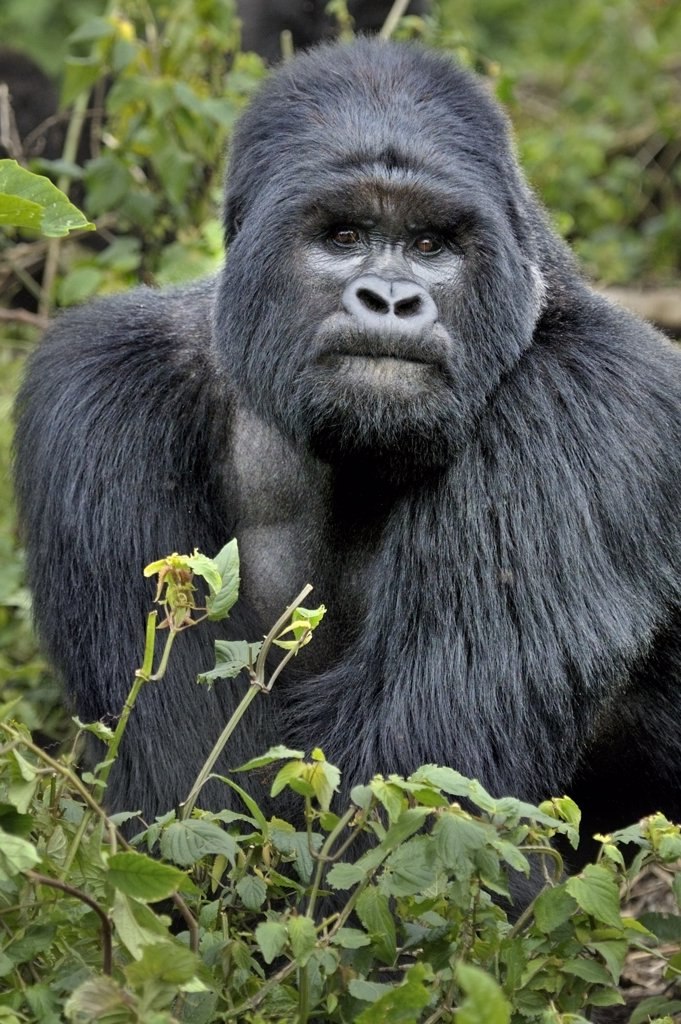 Stock Photo: 4070-14850 Portrait of a male Mountain Gorilla (Gorilla beringei). Rwanda, Africa