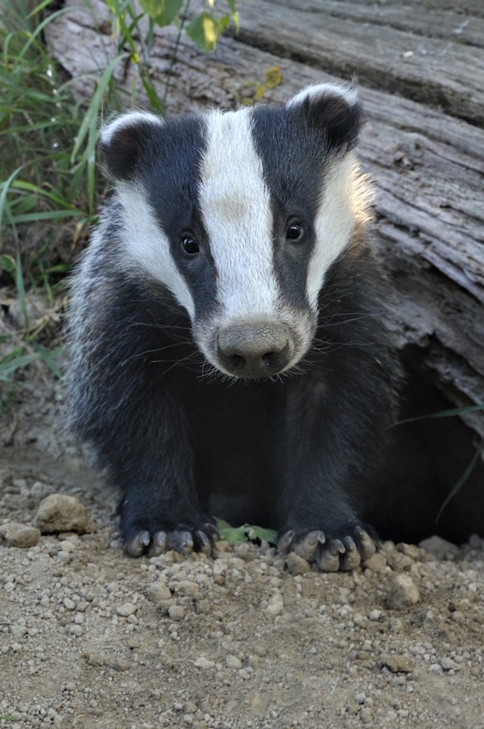 Young European Badger (Meles meles) emerging from its sett. Controlled conditions. UK, Europe, June. : Stock Photo