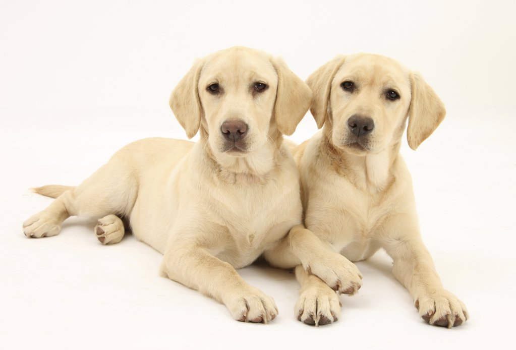 Yellow Labrador Retriever puppies, 5 months, lying side be side. : Stock Photo