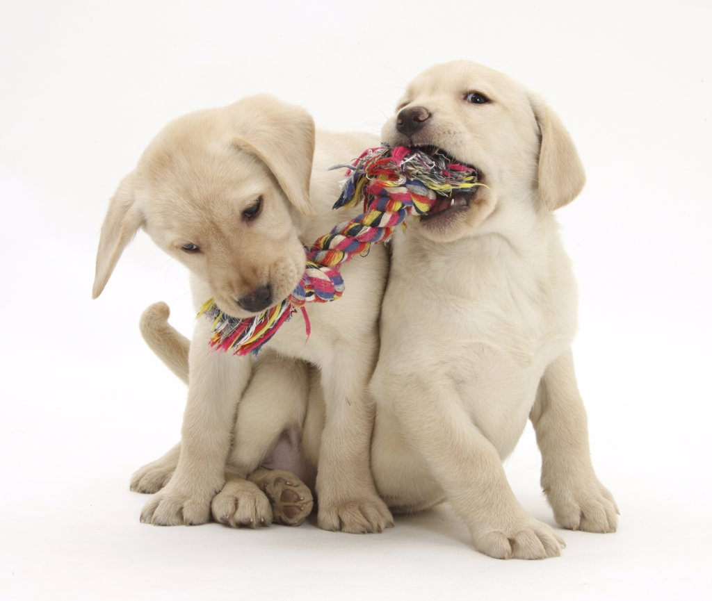 Stock Photo: 4070-14963 Yellow Labrador Retriever puppies, 9 weeks, playing with a ragger toy.