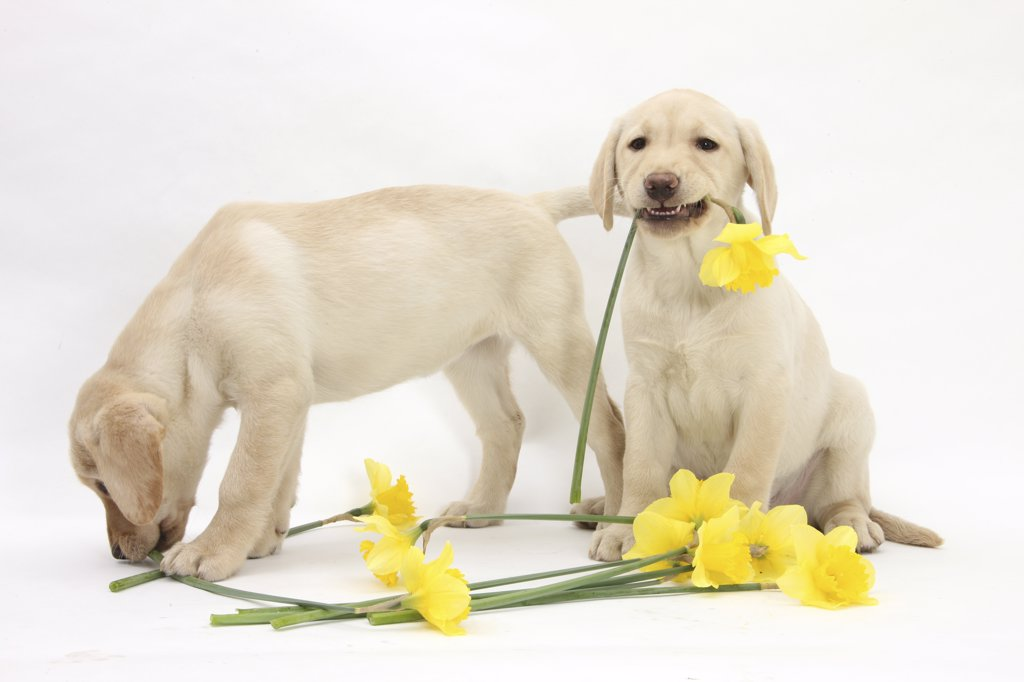 Yellow Labrador Retriever bitch puppies, 10 weeks, lying with yellow daffodils. : Stock Photo