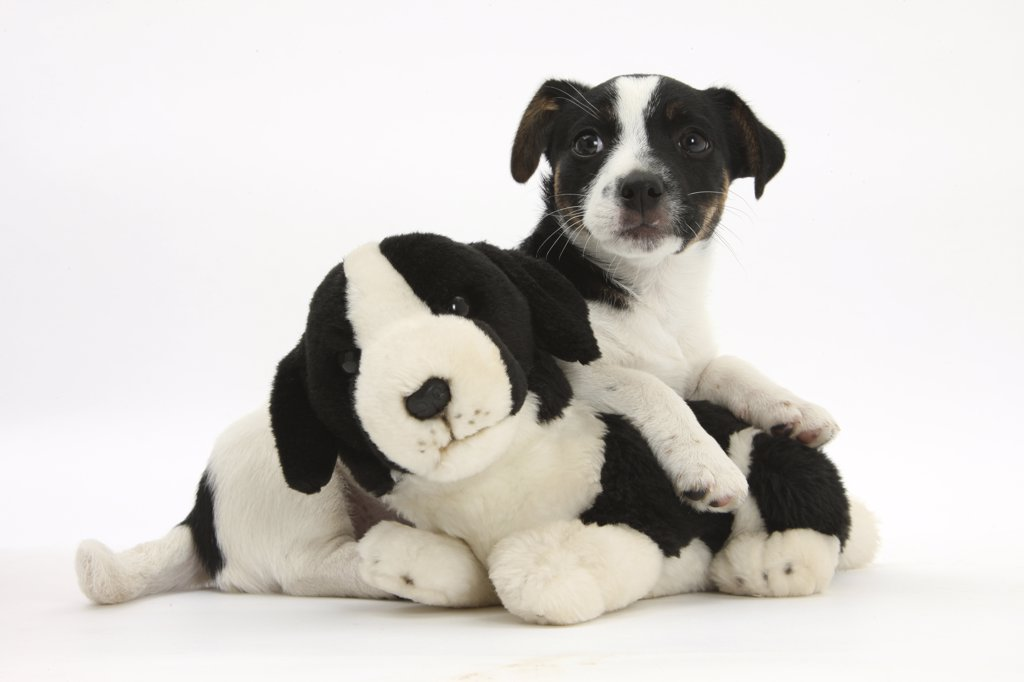 Stock Photo: 4070-15002 Jack Russell Terrier puppy, 9 weeks, with soft toy dog.