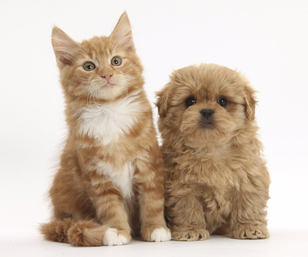 Stock Photo: 4070-15052 Peekapoo puppy and ginger kitten.