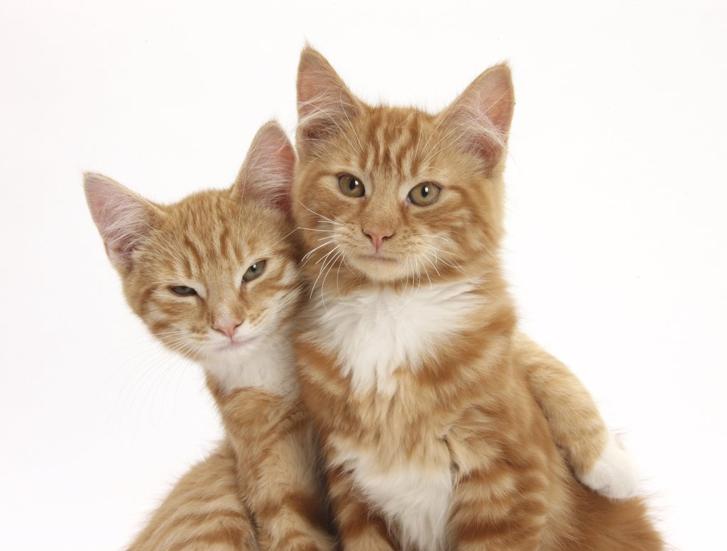 Two ginger kittens, lounging together. : Stock Photo