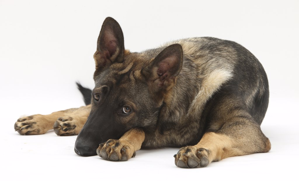 German Shepherd Dog lying with his chin on the floor. : Stock Photo