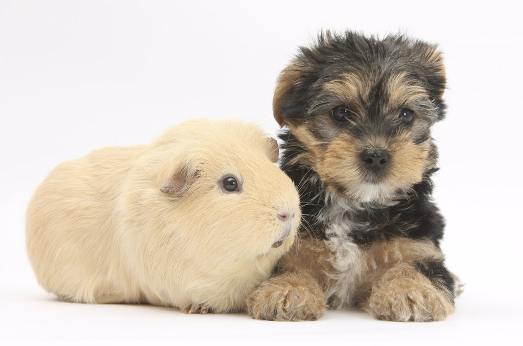 Stock Photo: 4070-15128 Yorkshire Terrier puppy, 8 weeks, with guinea pig.