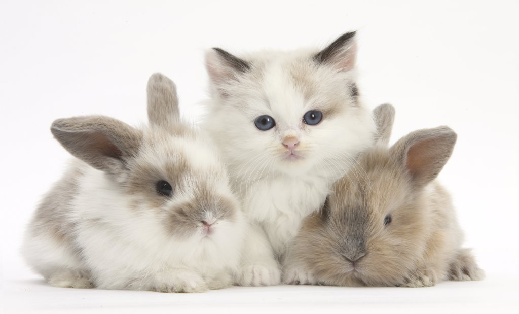 Stock Photo: 4070-15153 Colourpoint kitten with two baby rabbits.