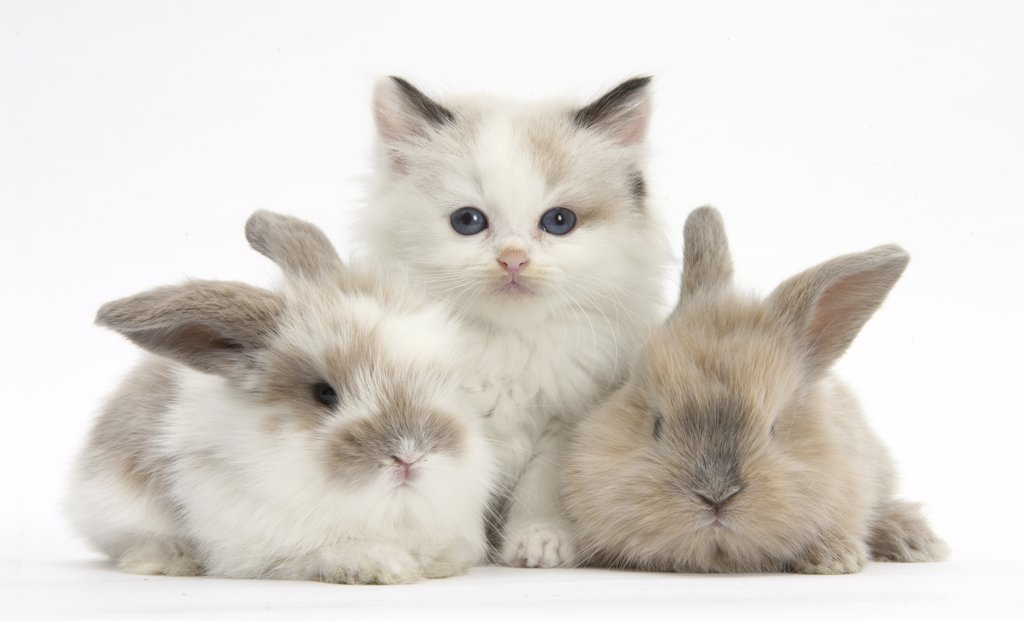 Stock Photo: 4070-15154 Colourpoint kitten with two baby rabbits.