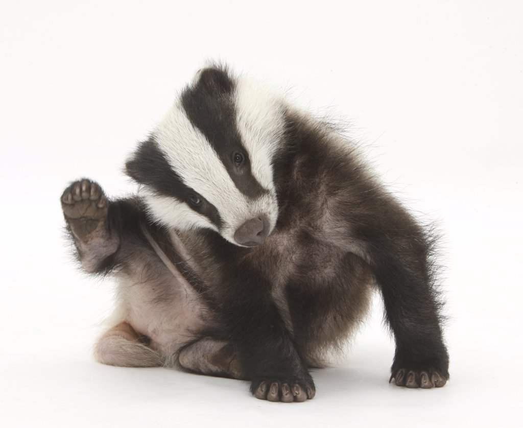 Young Badger (Meles meles) scratching himself. : Stock Photo