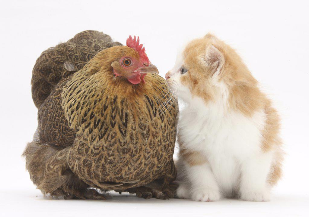 Stock Photo: 4070-15191 Partridge Pekin Bantam with ginger-and-white kitten.