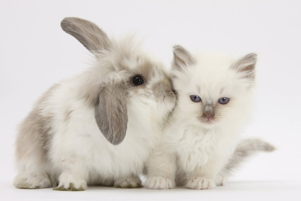Stock Photo: 4070-15277 Young windmill-eared rabbit and matching kitten.