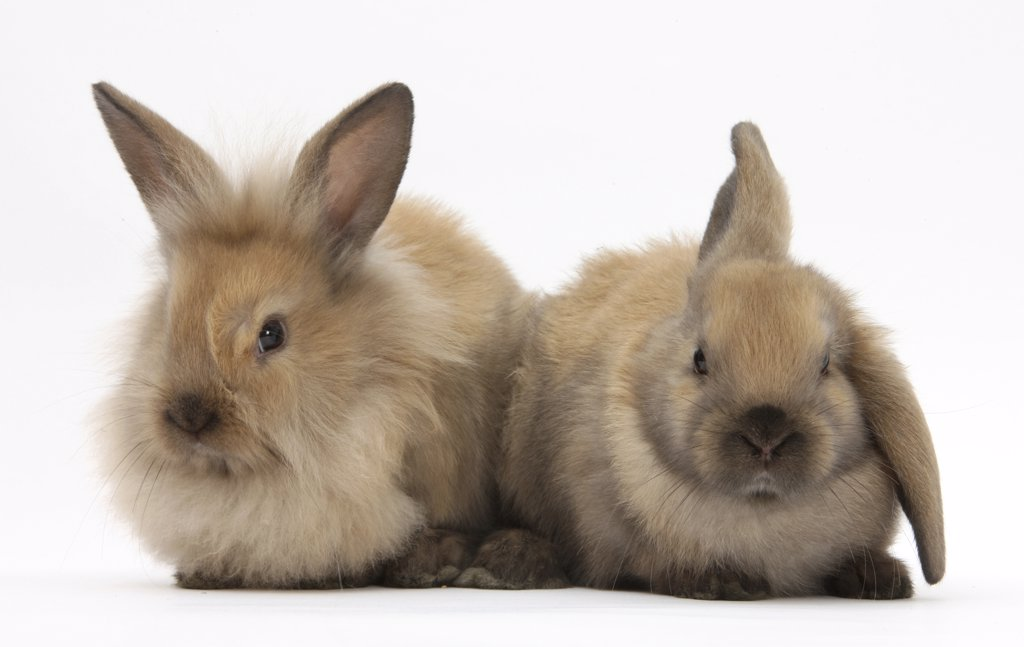 Young sandy rabbits. : Stock Photo
