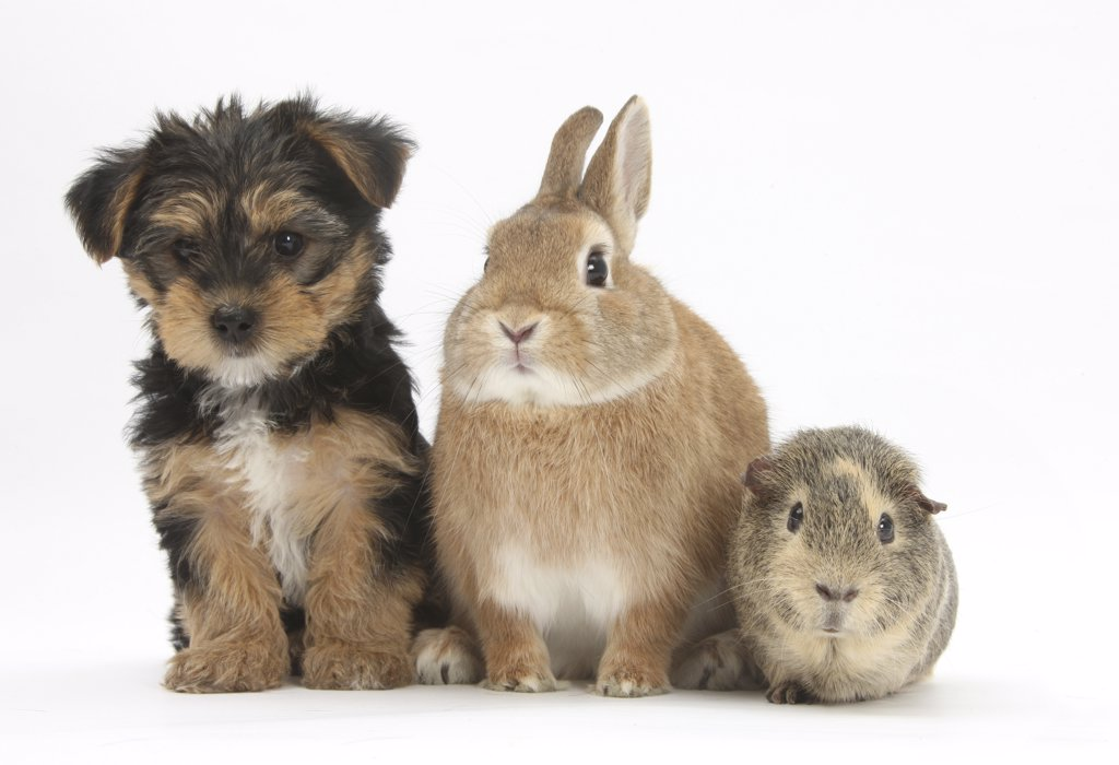 Stock Photo: 4070-15327 Yorkshire Terrier-cross puppy, 8 weeks, with guinea pig and sandy Netherland dwarf-cross rabbit.