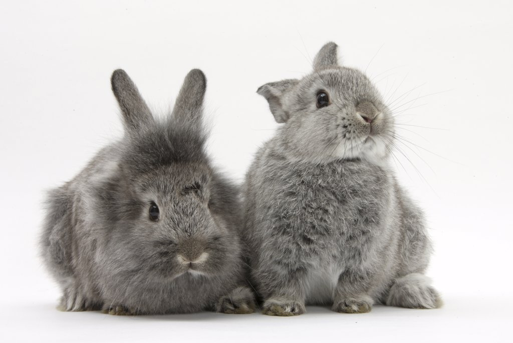 Two young domestic silver rabbits. : Stock Photo