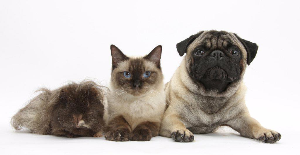 Fawn Pug, Burmese-cross cat and shaggy guinea pig. : Stock Photo