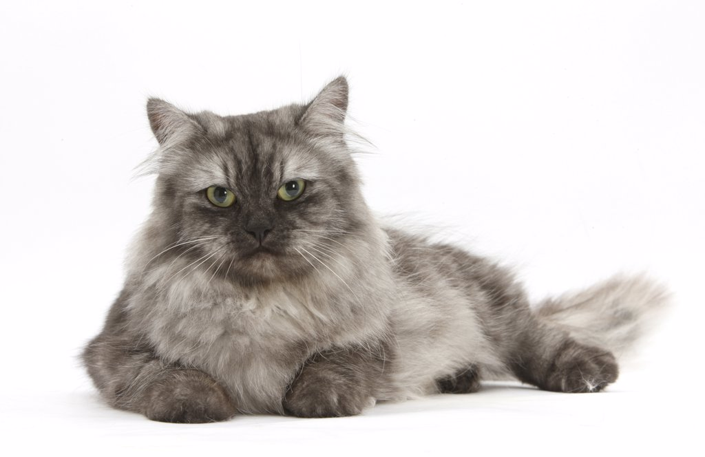 Stock Photo: 4070-15372 Persian x Birman female cat, 2 years.