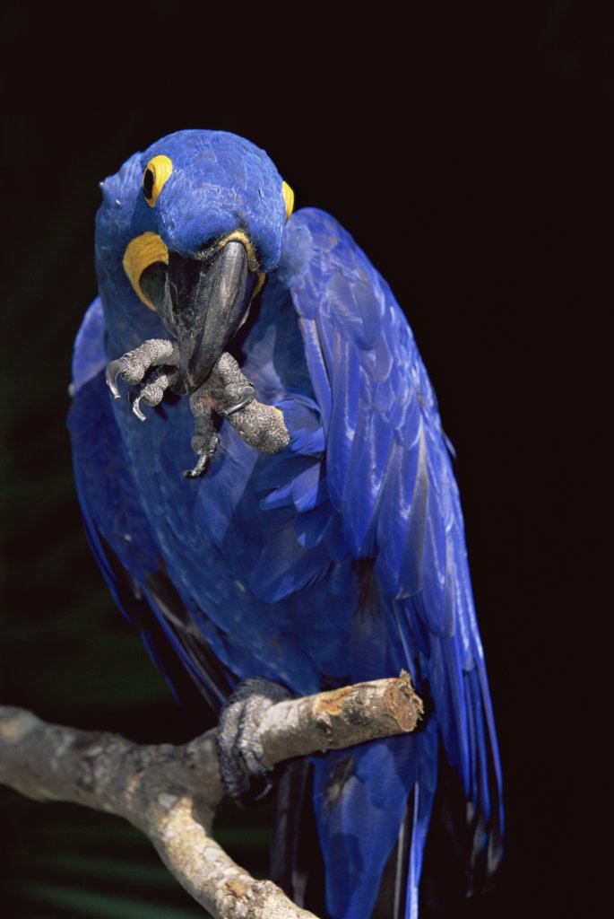 Stock Photo: 4070-1541 Hyacinth macaw (Anodorhynchus hyacinthinus) with foot in beak