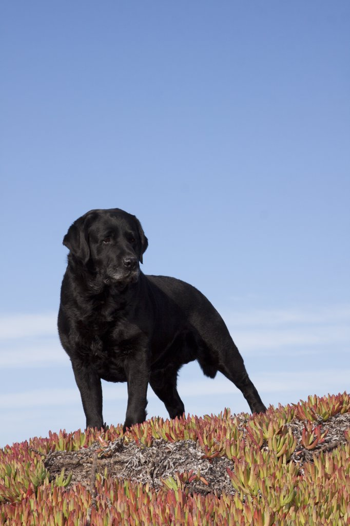 Stock Photo: 4070-15528 Black Labrador Retriever standing in glasswort against a blue sky. Pacific beach, Monterey Peninsula, California, USA, February.