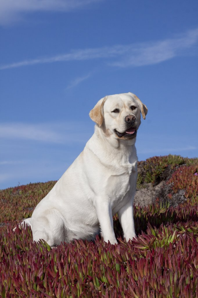 Stock Photo: 4070-15530 Yellow Labrador Retriever sitting in glasswort against a blue. Monterey Peninsula, California, USA, February.