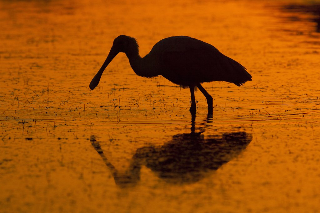 Roseate Spoonbill (Platalea / Ajaia ajaja) wading silhouetted against dawn light. Dunedin, Florida, USA, November. : Stock Photo