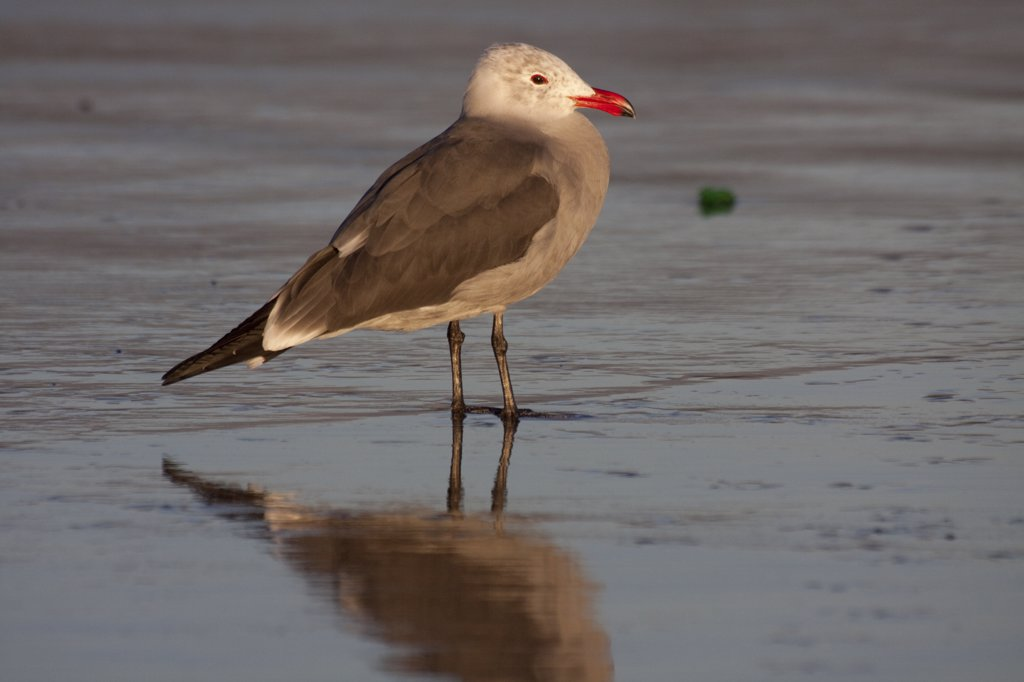 Heermann's Gull (Larus heermanni) standing on wet sand in winter non-breeding plumage. Santa Barbara, California, USA, December. : Stock Photo