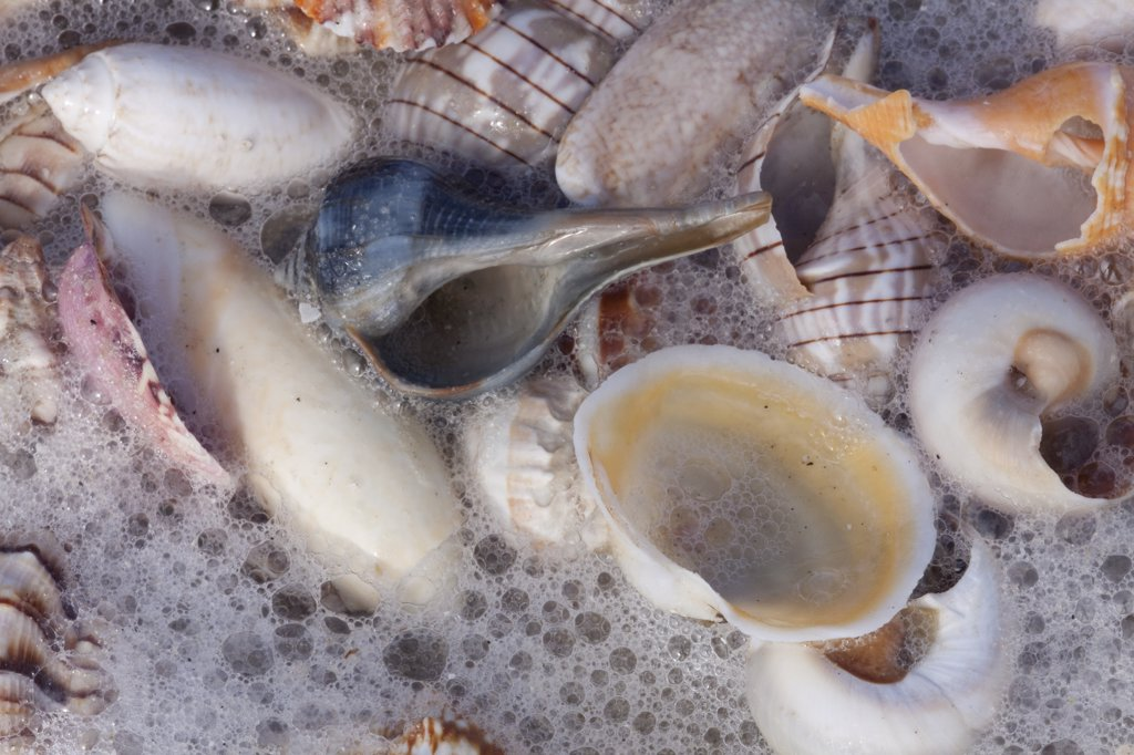 Stock Photo: 4070-15586 Common Florida sea shells under surge of seawater and sea foam at beach. Tarpon Springs, Florida, USA.