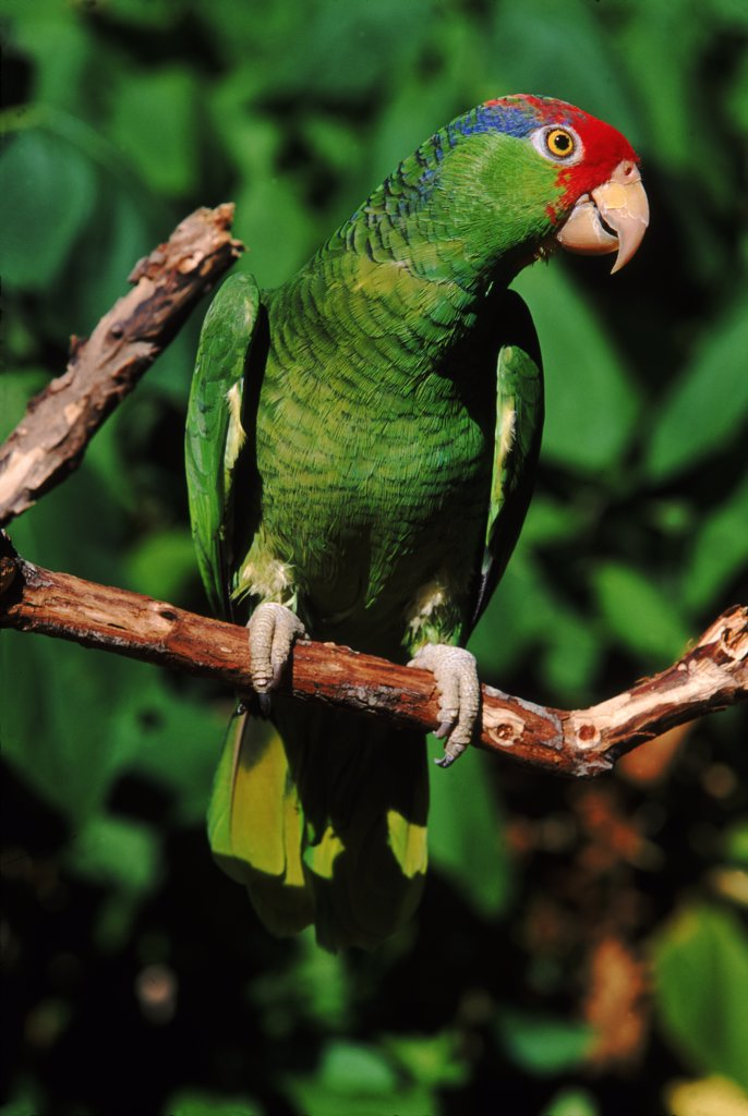 Green cheeked Amazon parrot : Stock Photo