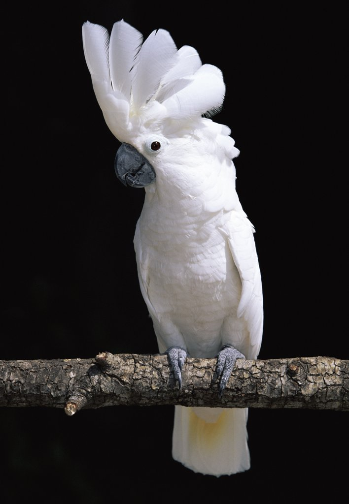 Stock Photo: 4070-1570 White or Umbrella cockatoo