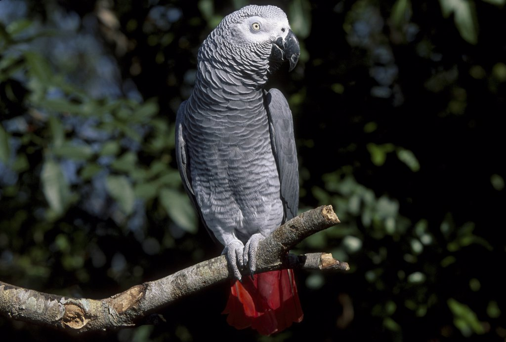 African grey parrot {Psittacus erithacus} captive  : Stock Photo