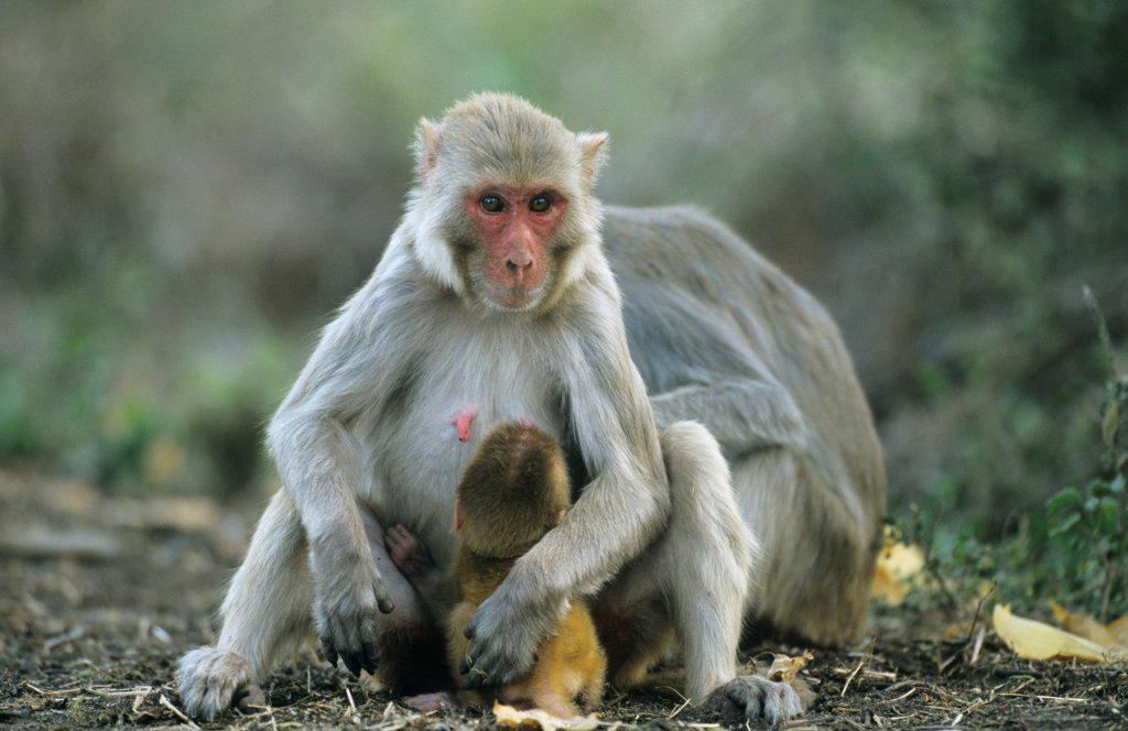 Rhesus macaque (Macaca mulatta) with baby suckling, Keoladeo Ghana NP, Rajasthan, India : Stock Photo