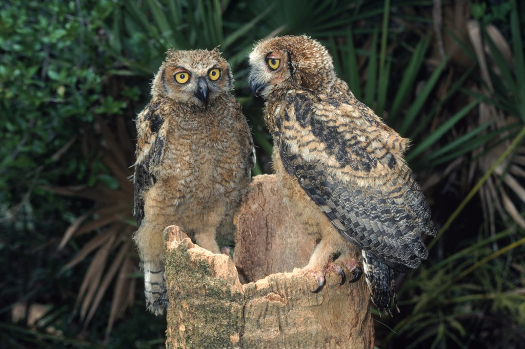 Stock Photo: 4070-1588 Great horned owl (Bubo virginianus), juveniles at nest. USA