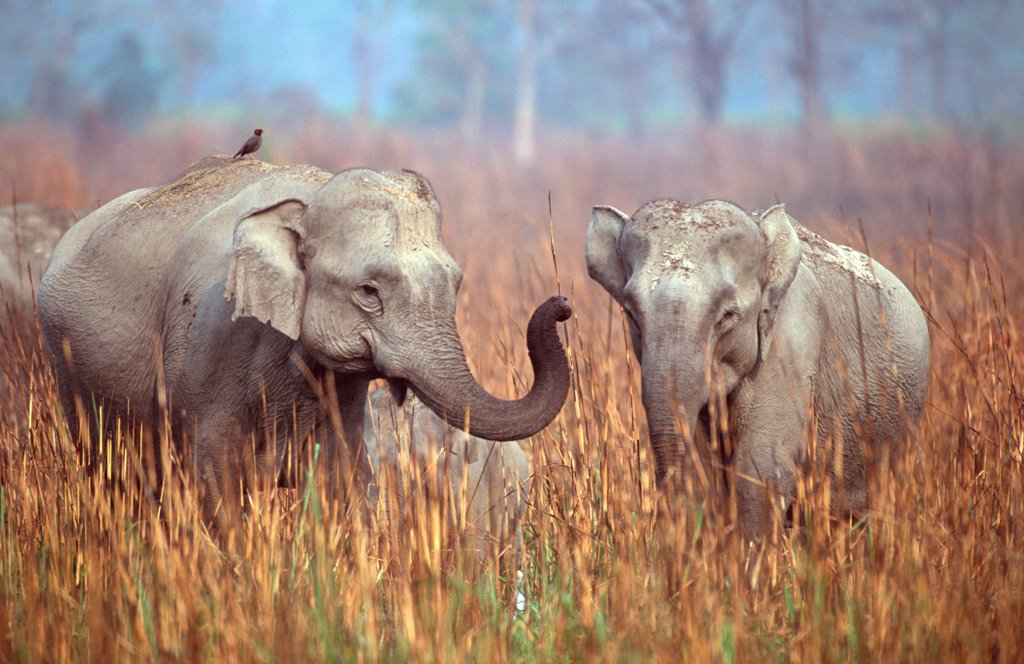 Stock Photo: 4070-16037 Indian elephants interacting {Elephas maximus} Kazaringa NP, India Assam