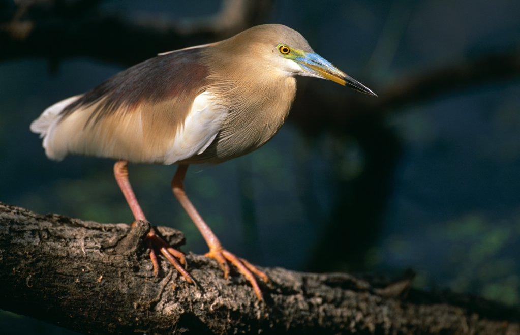 Pond heron (Ardeola grayii) in breeding plumage standing on log, Keoladeo Ghana NP, Bharatpur, Rajasthan, India : Stock Photo