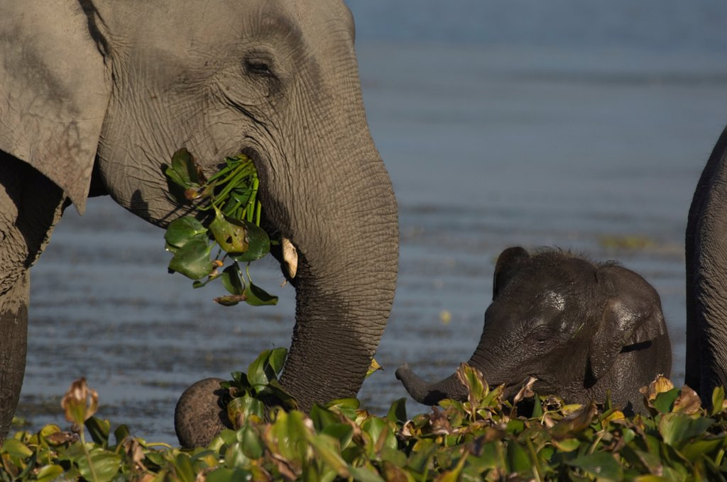 Indian elephant (Elephas maximus) adult and baby grazing on aquatic plants in lake, Assam, India : Stock Photo