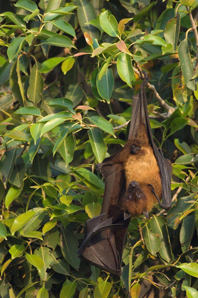 Indian flying fox {Pteropus giganteus} hanging from branch, Bund Baretha, Rajasthan, India : Stock Photo