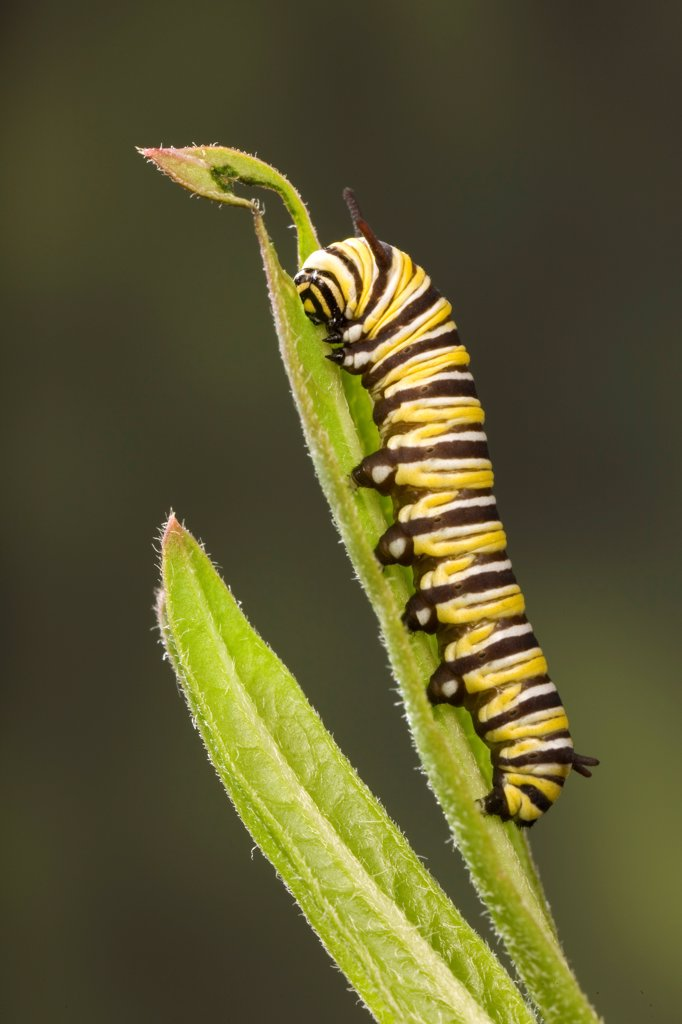 Caterpillar larva of Monarch butterfly (Danaus plexippus) on Milkweed leaf (Asclepias sp), USA : Stock Photo
