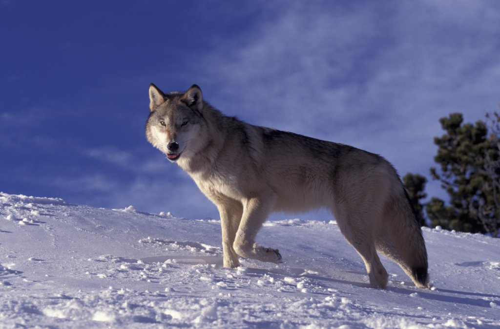 Grey wolf on snow {Canis lupus} Montana, US - captive  : Stock Photo