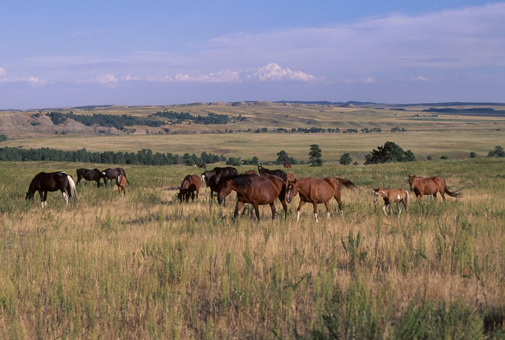 Stock Photo: 4070-1748 American wild horses / Mustangs {Equus caballus} on North Dakota Badlands USA 1999