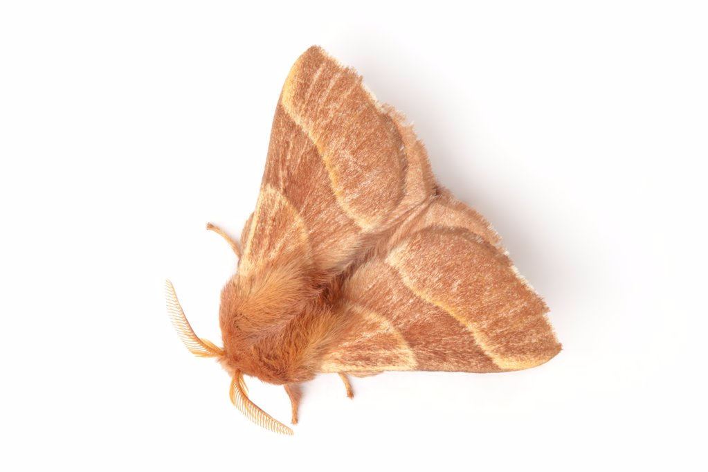 Stock Photo: 4070-17815 Lackey moth (Malacosoma neustria) on white background. Pembrokeshire, UK. July.