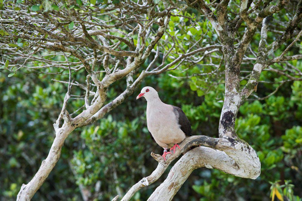 Stock Photo: 4070-18195 Pink pigeon (Columba / Nesoenas mayeri) threatened / endangered species, Black River Gorges, Mauritius, Indian Ocean, wild
