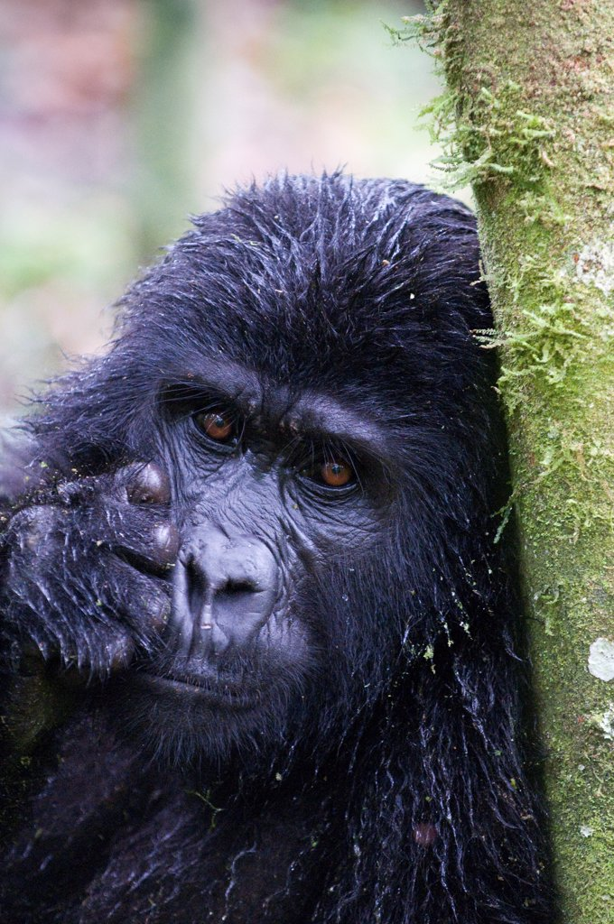Stock Photo: 4070-18411 Mountain gorilla (Gorilla beringei beringei) leaning against tree trunk, Bwindi Impenetrable Forest, Uganda, Endangered / threatened species, October
