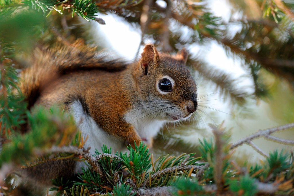Stock Photo: 4070-18459 American red squirrel (Tamiasciurus hudsonicus) in fir tree, Cap Breton Highlands National Park, Nova Scotia, Canada, September