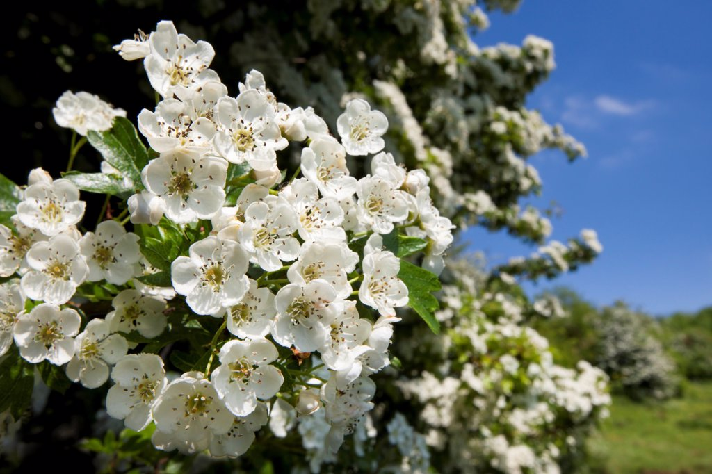 Stock Photo: 4070-18533 Hawthorn blossom (Crataegus monogyna), Bonsall, Peak District National Park, Derbyshire, UK, June.