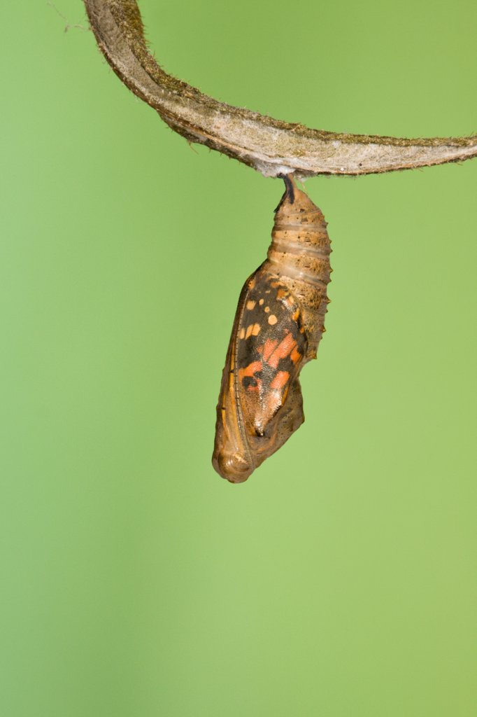 Painted lady butterfly (Vanessa / Cynthis cardui) emerging from chrysalis. Sequence 1/14. : Stock Photo