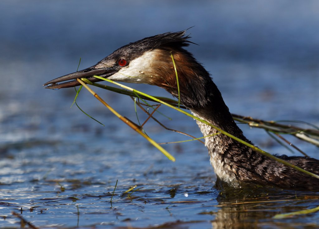 Great Crested Grebe (Podiceps cristatus) carrying nesting material. Cape Town, South Africa, January. : Stock Photo