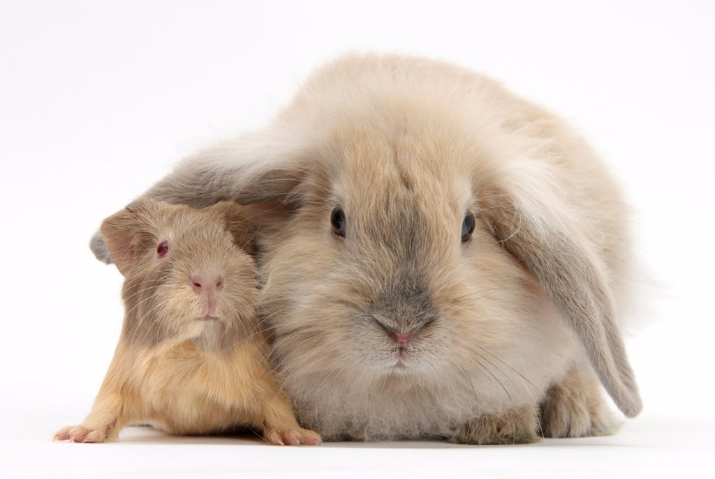 Young windmill-eared rabbit and matching guinea-pig. : Stock Photo