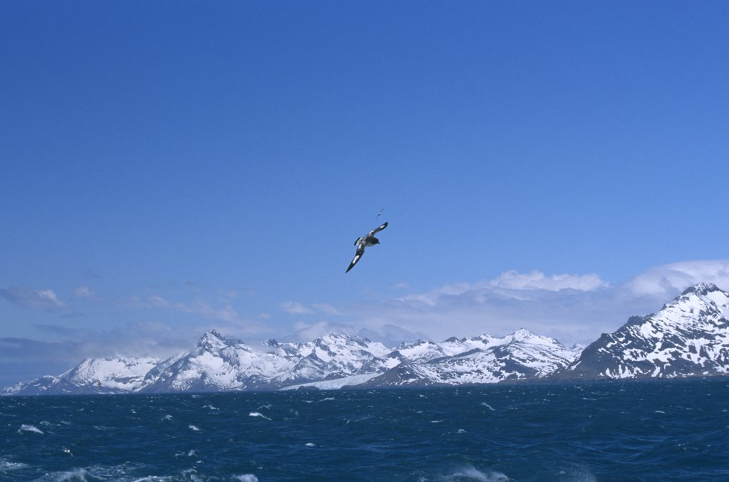 Stock Photo: 4070-1881 Pintado petrel flying over choppy sea surface {Daption capense} South Georgia Islands