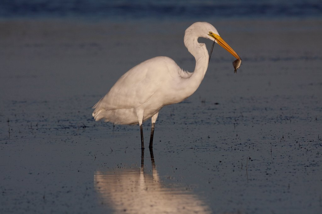 Stock Photo: 4070-18819 Great Egret (Ardea / Casmerodius alba) adult in non-breeding plumage, with fish it has plucked from sea grass bed at low tide. Tarpon Springs, Florida, USA, November.