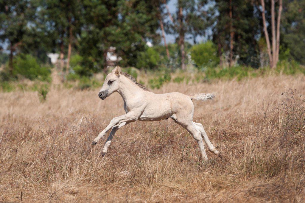 Stock Photo: 4070-19427 A rare Sorria newborn colt galloping in tall grass, Reserva Natural do Cavalo do Sorraia, Alpiarca, District Santarem, Alentejo, Portugal.