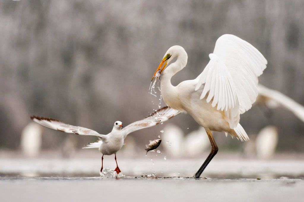 Stock Photo: 4070-19448 Great egret (Egretta alba) drops a fish from its beak and a Black headed gull (Larus ridibundus) flies in to catch it. Lake Csaj, Kiskunsagi NP, Hungary, January. Winner, Eric Hosking award, 2011 Wildlife Photographer of the Year competition